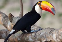 tucano the colorful bird / by malcolm