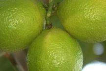 plantando limoes tática em vaso.