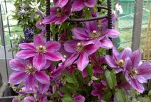 Clematis I would like to have in my garden