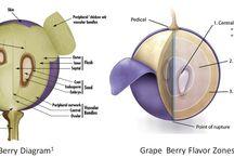 Grape & Vine Anatomy