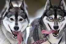 Huskies will save the world ^^ / Huskies \o/