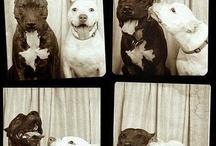 Pitbulls......They'er pets, not predators