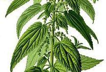 ortiche / piante