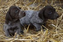 Braque allemand / Braque allemand | German Shorthaired Pointer