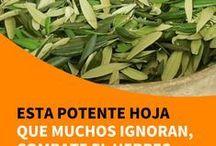 hojas de olivo para todo