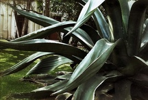 Magueyes / by Museo Dolores Olmedo