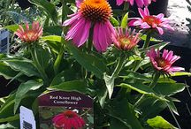 Summer Bloomers / We're flashing you are summer bloomers. Those beautiful perennials that explode with color with a little help for our summer sun.