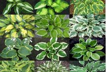 What's in my Hosta Garden / by Maureen Potter Androff