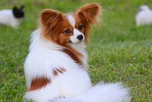 Dog - Papillion