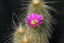 Télálló kaktusz - Hardy cactus