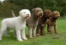 Lagotto Love