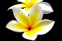 Frangipani / Flowers