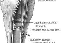 Hevosen anatomia ja fysiologia