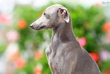Italian Greyhounds / Italian Greyhounds Headstudy IT Racing Club 2014 Adelchi Matilde IT Breeds BIS/Rhodanian Challenge Winner 2014 Adelchi Rebecca