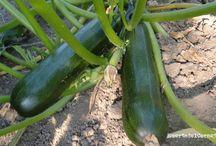 Cómo sembrar y cultivar calabacines. / Los calabacines son plantas muy productivas y fáciles de cultivar, si tenéis oportunidad podréis conseguirlos en jardín o en maceta grande en zona soleada.