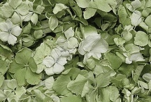 Hydrangea  Flowers  / Eco-friendly Hydrangea flower stems & freeze dried petals from Flyboy Naturals Rose Petals