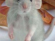 rats obsession