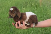 Goats / I love goats!  Big goats, small goats, dairy goats, market, fiber or pygmy.  They're all adorable to me!