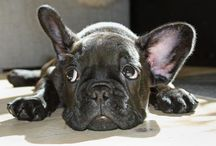 Doggie pics / French bulldog