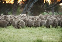 Carpets Made with New Zealand Wool / New Zealand produces 45% of the world's premium carpet wool. It's wool is  sustainable, biodegradable and responsibly grown by farmers who care and use animal friendly practices. To view our wool collections visit our website at www.cormarcarpets.co.uk