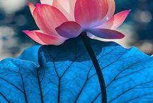 1 Lotus