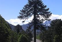 Araucaria Chile