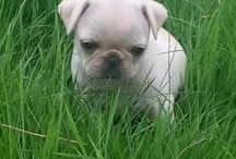 Pugs!!!