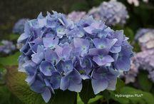 Flowers - Hydrangea / by Sue Vanden Berge