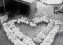 New Zealand just love their sheep