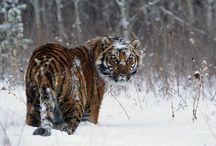 Тигры!!!
