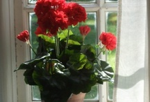 Decor / Geraniums
