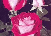 Bicolor roses