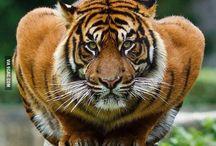 Tigers.... RAWRRRR ;) / by Kendra Stoeckle