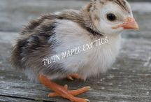 Guinea Fowl Keets / Copyright: Twin Maple Exotics.                                                                                                             To find us on Facebook click the link below                                                       https://www.facebook.com/Twinmapleex/