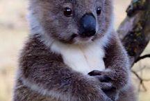 koalağ