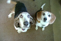 ...these Two Hounds of Mine! / This is about Abigail the Beagle & Mr. Peabody the Basset, along with stuff for Dogs or Their Humans! / by Karrieann