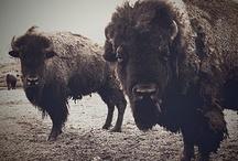 The Bison(Le Bison)