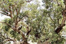 Ficus Rosmarin.
