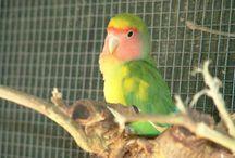 Agapornis / Bacheca dedicata alle immagini dei pappagallini inseparabili, o agapornis