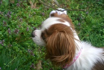 Dogs / cavallier king charles spaniel