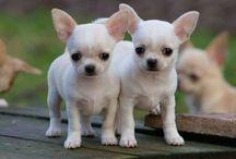 Chihuahuas <3