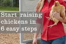 All about Chickens