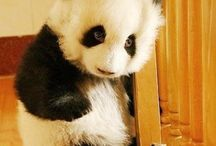 Panda !!! / Cuteness are really exist