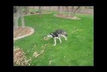 Funny husky compilation!