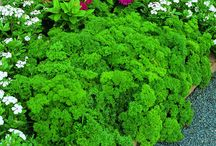 Edible herbs & leafy greens for winter pots / Living in the South, I love having herbs & veggies mixed in with my winter annuals that I can use in recipes all winter long!