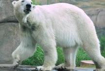 Polar Bear / Como Zoo's Polar Bears / by Como Park Zoo and Conservatory