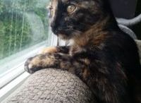 Calico and Tortoiseshell cats / Love tri-colored cats? So do we! Follow this board for fantastic photos of calicos, torties and even torbies!