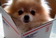 Too Cute for You / Pictures of pomeranians. Need I say more?
