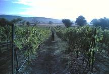 Greek Vineyards / Feels so good walking among these vines... :)