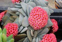 Plants, succulent and cactaceas